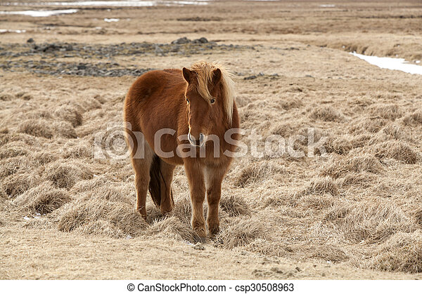 Brown Icelandic horse on a meadow - csp30508963