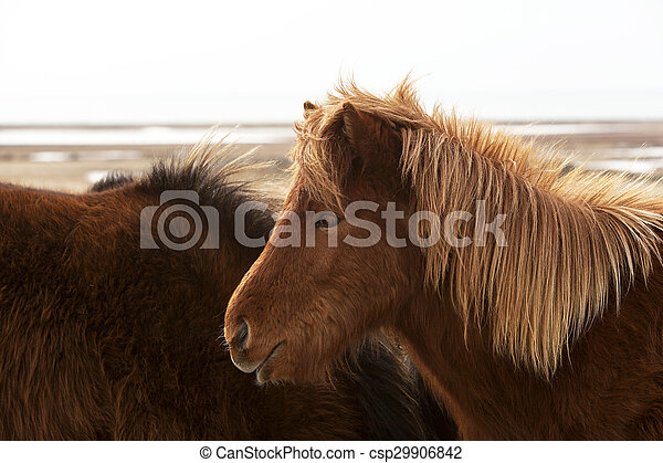 Brown Icelandic horse on a meadow - csp29906842