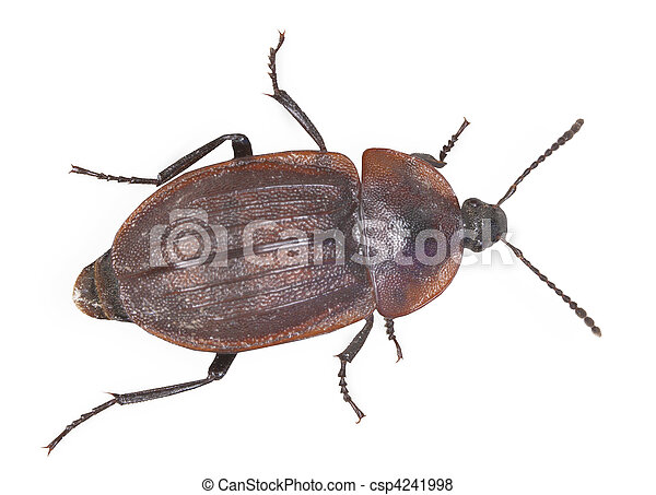 Brown large bug isolated on white background - csp4241998