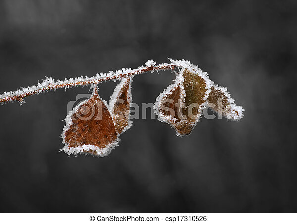 Brown leaves with ice crystals - csp17310526