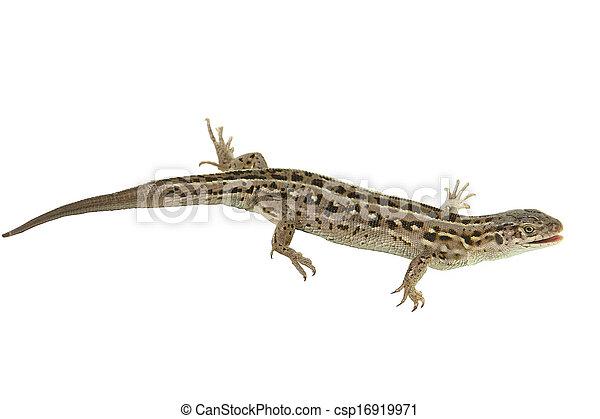 Brown lizard - csp16919971