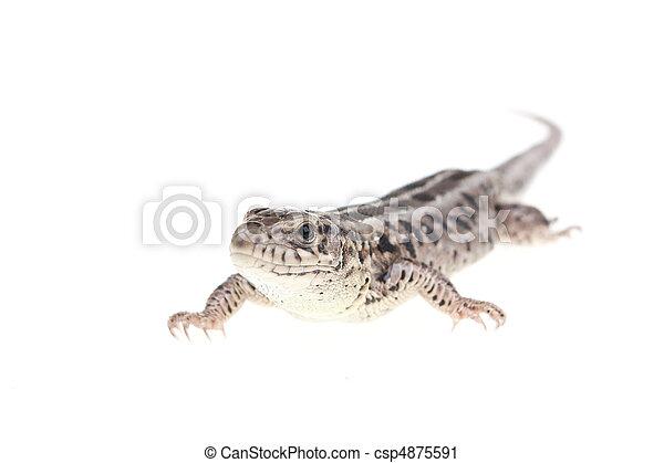 Brown lizard - csp4875591