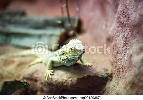brown lizard - csp23129887