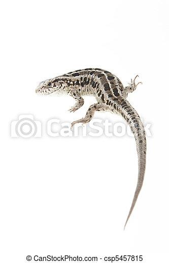 Brown lizard - csp5457815