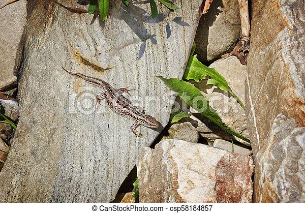 Brown lizard - csp58184857