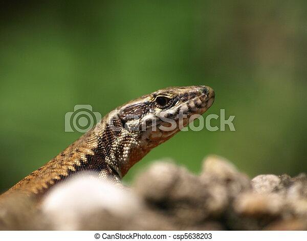 Brown lizard - csp5638203