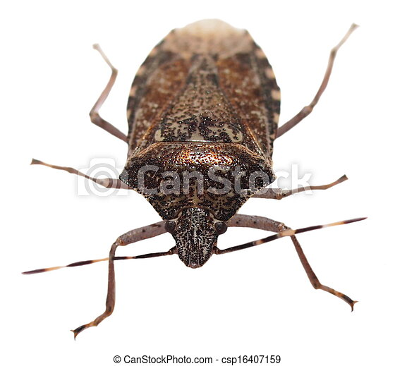 Brown Marmorated Stink Bug isolated - csp16407159