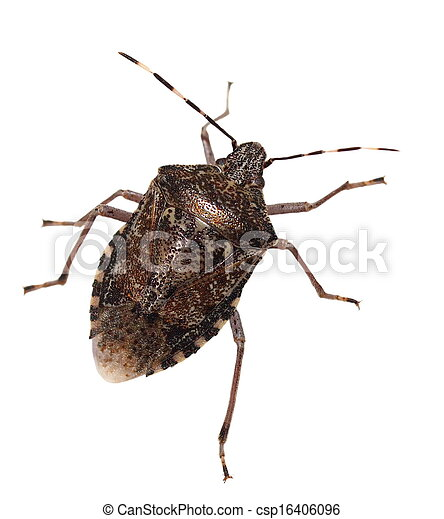 Brown Marmorated Stink Bug isolated - csp16406096
