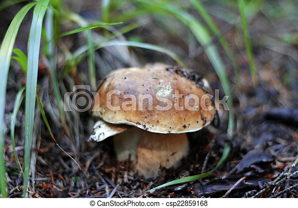 Brown mushroom growing in the autumn forest - csp22859168