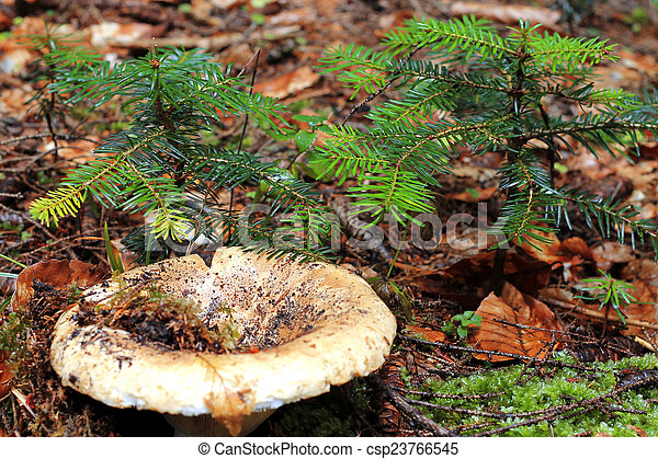 Brown mushroom growing in the autumn forest - csp23766545