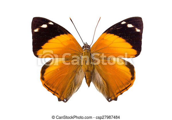 Brown Nymphalidae butterfly - csp27987484