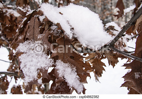 Brown oak tree leaves covered with hoarfrost. Close-up. - csp64862382