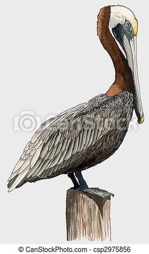 Brown Pelican - csp2975856