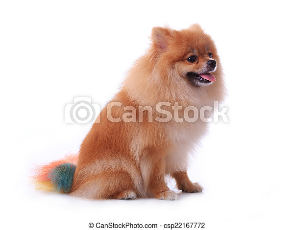 brown pomeranian dog isolated on white background, cute pet - csp22167772