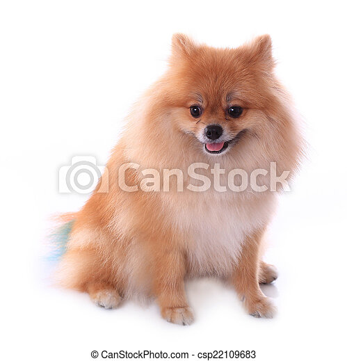 brown pomeranian dog isolated on white background, cute pet - csp22109683