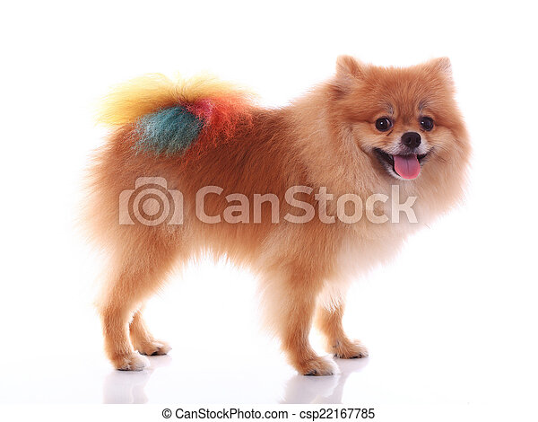 brown pomeranian dog isolated on white background, cute pet - csp22167785