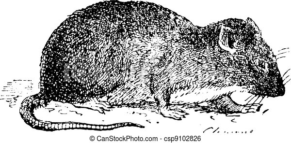 Brown rat  or Sewer rat, vintage engraving. - csp9102826