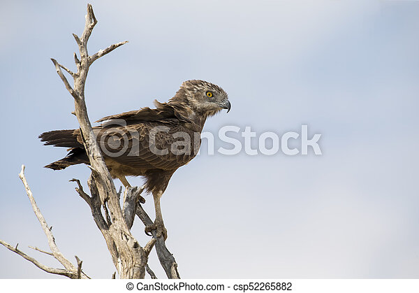 Brown Snake Eagle is perched in a dead tree - csp52265882