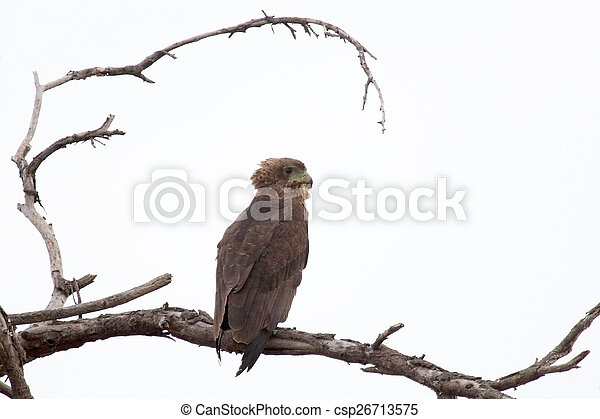 Brown snake eagle on a tree - csp26713575