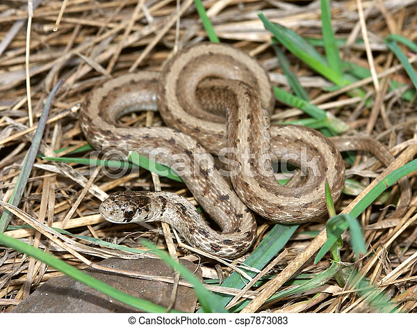 Brown Snake (Storeria dekayi) - csp7873083