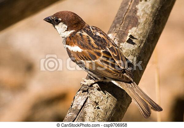 Brown songbird sparrow - csp9706958