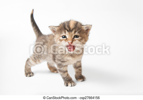 brown striped kitten on a white background