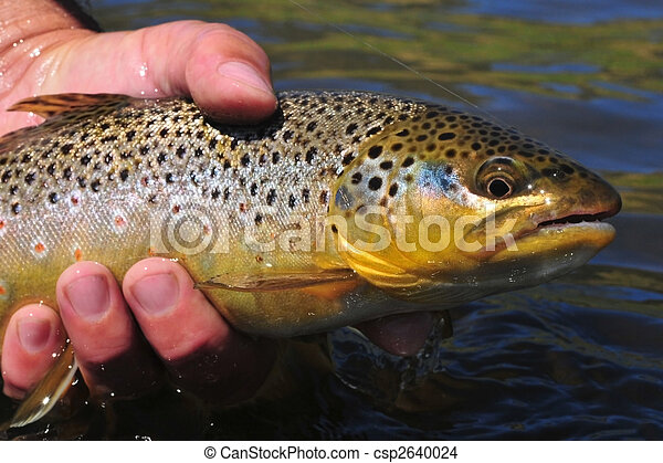 Brown trout - csp2640024