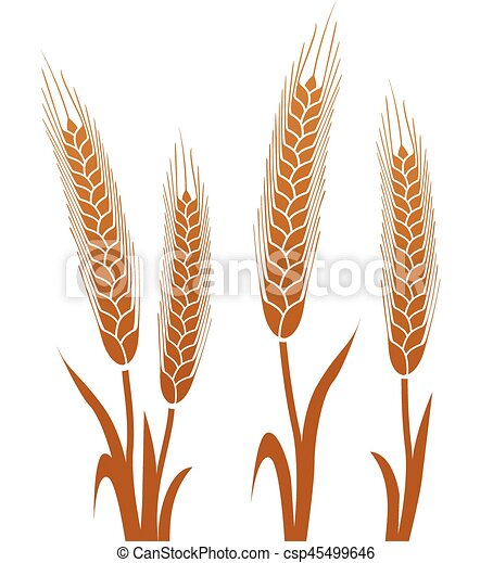 brown wheat on white background - csp45499646