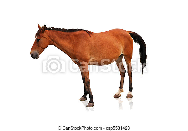 bruin paard, witte , vrijstaand, achtergrond - csp5531423