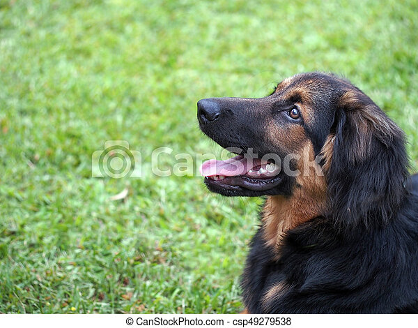 bruine , black , gras, achtergrond., knippen, dog, wants, play. - csp49279538