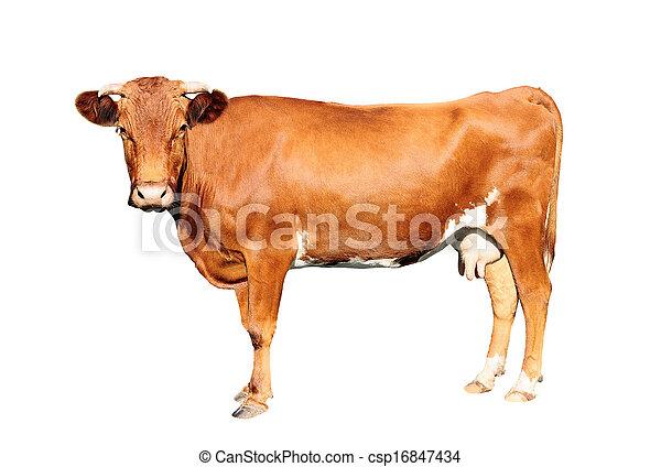 bruine koe - csp16847434