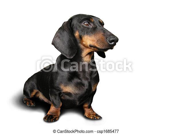 brun, chien noir, (dachshund) - csp1685477