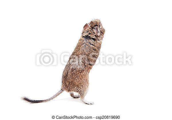 brush-tailed, weiße ratte, degu, oder