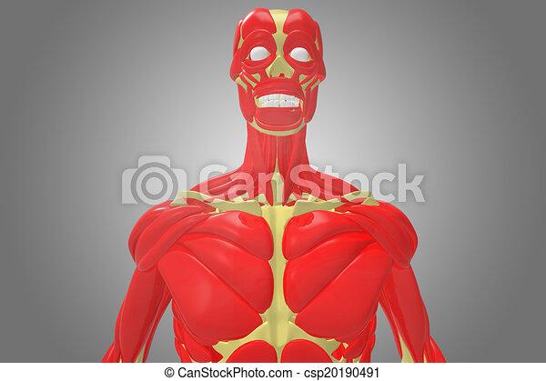 Brust, muskel, skelett, menschliche . Previously, bewegung, menschen ...
