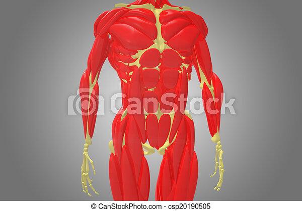 Brust, muskel, skelett. Side., höher, satz, skelett, e.g., menschen ...