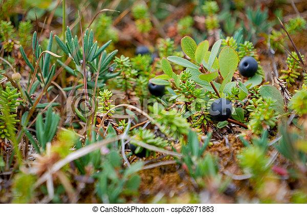 Black Crowberry auf weißer Seebucht, Russland - csp62671883