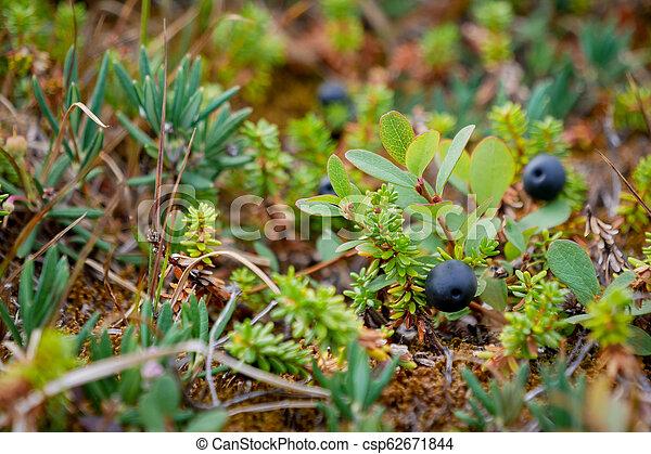 Black Crowberry auf weißer Seebucht, Russland - csp62671844