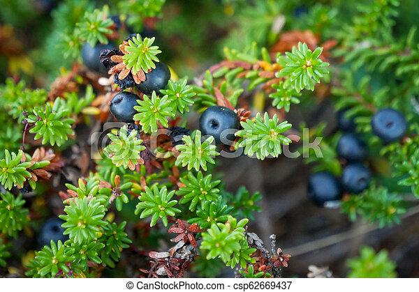 bucht, crowberry, schwarzes meer, weißes, russland - csp62669437