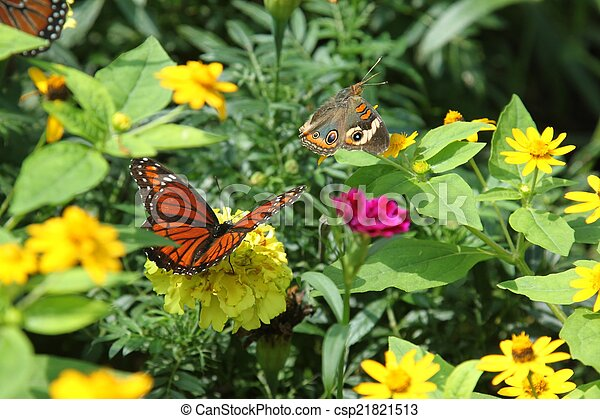 Buckeye and Viceroy butterflies - csp21821513