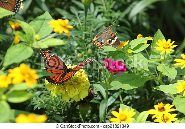 Buckeye and Viceroy butterflies - csp21821349