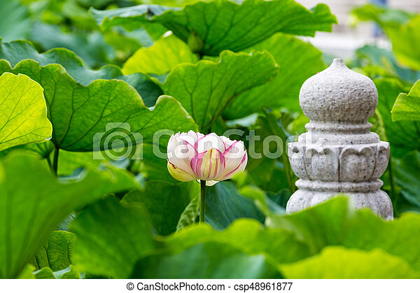 Buddha lotus flower lotus flower bloom in pond of the temple buddha lotus flower csp48961877 mightylinksfo