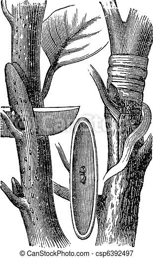 Budding, vintage engraving - csp6392497