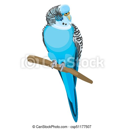 budgerigar common or shell parakeet informally nicknamed vector rh canstockphoto com Cartoon Parakeet green parakeet clipart