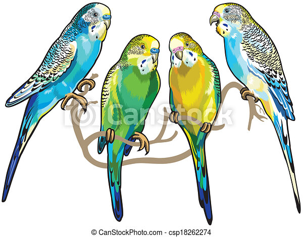 budgerigars australian parakeets isolated on white vectors rh canstockphoto ie parakeet clipart