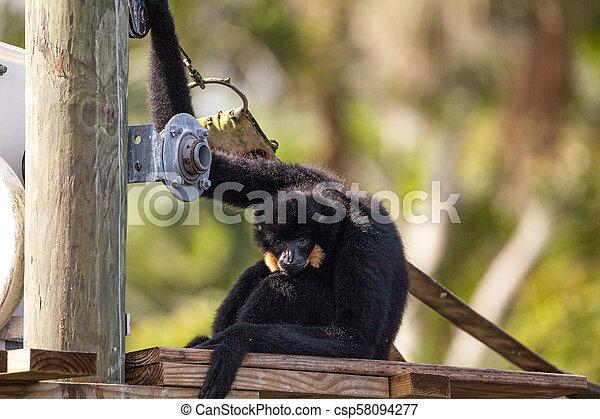 Buff-cheeked gibbon Nomascus gabriellae - csp58094277