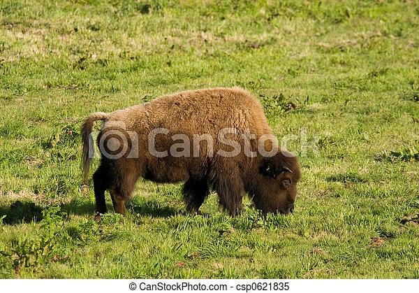 Buffalo Grazing I - csp0621835