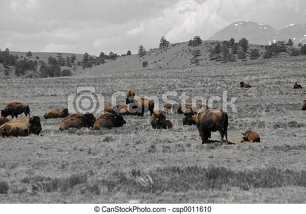 Buffalo Survive - csp0011610