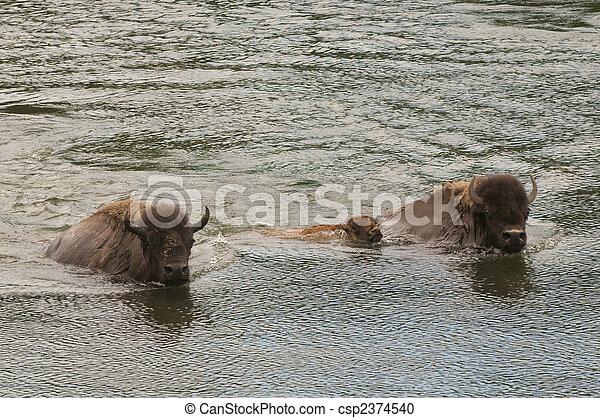 buffalo swimming across the yellowstone - csp2374540
