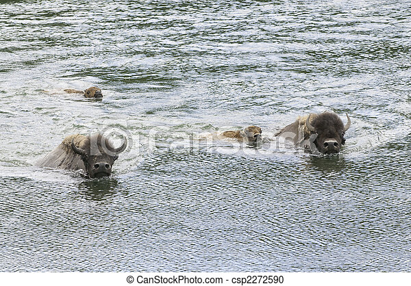 buffalo swimming - csp2272590
