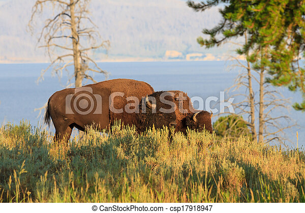 Buffalos / Bisons in high grass in Yellowstone National Park, Wyoming - csp17918947